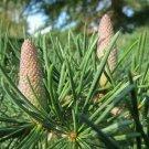 Cedrus deodara (Deodar cedar) - 10 Seeds