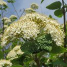 Viburnum lantana (Wayfaring tree) - 10 Seeds