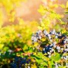 Mahonia aquifolium (Oregon-grape) - 50 Seeds