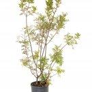 Pistacia lentiscus (Mastic) - 30 Seeds