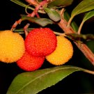 Arbutus unedo (Strawberry tree) - 100 Seeds