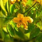 Cassia corymbosa (Argentine senna) - 50 Seeds