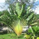 Palm Bonsai Garden Trachycarpus Fortunei Tree Tropical  Landscape