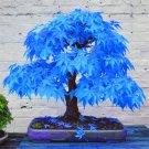 Sky Blue Japanese Balcony Maple Tree Plants Rare - 20pcs
