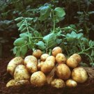 Potato Perennial Bonsai seeds Vegetable planting
