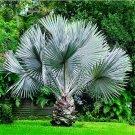 Perennial Plant Palm Tree Tropical Canna Palm Garden Rare Tree - 20pc
