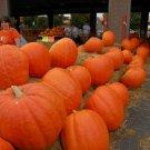 Giant Pumpkin Plants Rare Super Pumpkins Vegetable Food- 20/pcs