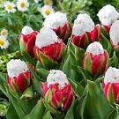 Cabbage Rare tulip bonsais. Aroma tulip -3 pcs