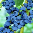 100pcs Blueberry flores Tropical Fruit Trees plante
