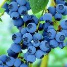 Blueberry flores Tropical Fruit Trees plante Cancer fruit plant