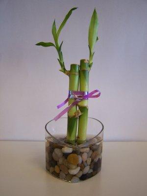 lucky bamboo (1)