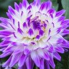 Egrow 100Pcs/Pack Multi-Colored Dah lia Seeds Flores Bonsai Flower Plant Plantas for Home & Garden