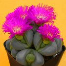Egrow 100Pcs/Lot Lithops Seeds Cactus Rebutia Variety Flowering Color Cacti Rare Cactus Bonsai Offic