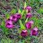 Egrow 100Pcs/Pack Purple Large Flower Cypripedium Seeds Garden Balcony Potted Bonsai Slipper Orchid