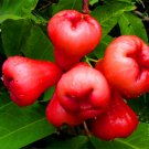Egrow 100 PCS/Pack Jambu Air Seeds Rose Wax Apple Bonsai Rare Fruit Flores for Home Garden Planting