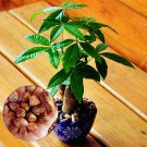 Egrow 2 Pcs/Bag Pachira Seeds Macrocarpa Flores True Bonsai Tree Plantas For Home Garden And Office