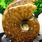 Natural Ammonite Nautilus Shell Jurrassic Fossil Specimen Madagascar 301g HLS12