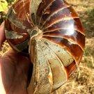 Natural Ammonite Nautilus Shell Jurrassic Fossil Specimen Madagascar 1448G #DZ77