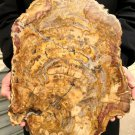 5989g COLORFUL RAINBOW FANTASTIC Madagascar Petrified Wood Round Slab Bark #DMH2