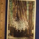 Postcard 1930s Largest Card Receiver Santa Cruz California Redwood Tree Color