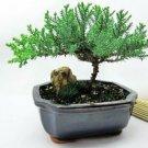 9GreenBox - Bonsai Juniper Tree Indoor