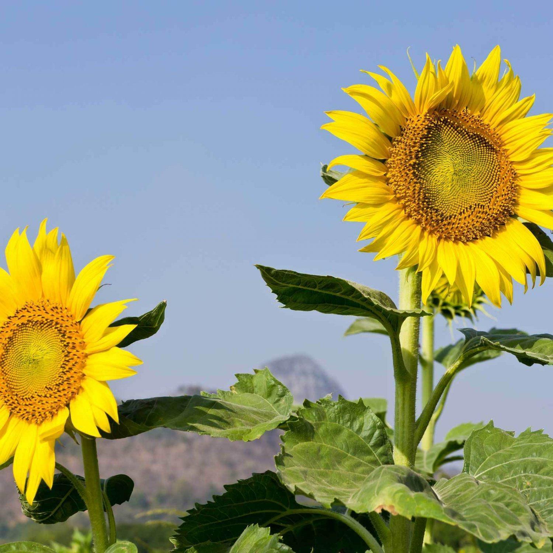 Sunflower Garden Seeds - Mammoth Grey Stripe - 8 Gram Packet - Annual Sun Flower