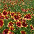 Gaillardia Indian Blanket Nice Garden Flower 300 Seeds