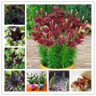 100% True Red Lily Bulbs Flowers Seeds For Garden Plants 2 Bulb