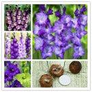 2Pcs Bulbs True Purple Gladiolus Bulbs Beautiful Gladiolus Flower Seeds For Garden Plants
