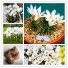 2 Bulbs True White Crocus Saffron Bulbs,Iran Saffron Flowers Seeds For Garden Plants