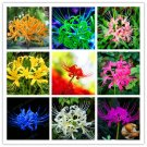 2 Bulbs Multi-Color Powder Lycoris Bulbs True Lycoris Bulb Flowers Seeds For Garden Plants