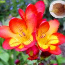 2 Bulbs Red Freesia Bulbs Indoor Potted Flowers Orchids Flower Seeds For Garden Plants