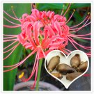 2 Bulb Rare Pink Lycoris Radiata Bulbs Bonsai Potted Flowers Seeds For Garden Plants