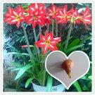 2 Bulb True Hippeastrum Rutilum Bulbs  Flower Seeds For Garden Plants
