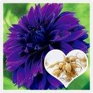 2 Bulb True Purple Dahlia Bulbs Flower Seeds For Garden Plants