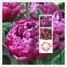 2 Bulb True Purple Tulip Bulbs,Tulip Flower Seeds For Garden Plants