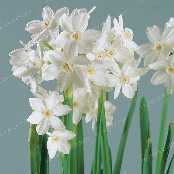 2 Bulb True White Narcissus Bulbs,Daffodil Bulbs Bonsai Flower Seeds For Garden Plants