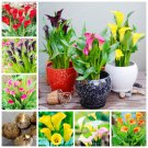 2 Bulb Calla Lily Bulbs Rare Bonsai Colorful Rhizome Zantedeschia Flower Seeds For Garden Plants