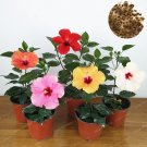 100Pcs Mix Color Hibiscus Syriacus Bonsai (Chinese Rose) Rare Flower Seeds For Home Garden Plants