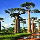 Baobab tree seeds, 10 pcs/pack Australian rare baobab tropical giant planting Seeds