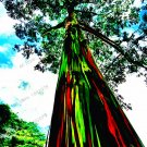 100pcs/bag rare Rainbow Eucalyptus deglupta Bonsai,showy tropical tree Plants seeds