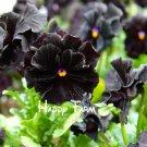 100 Pcs Black charm pansy Bonsai, black pansy flower, potted flower Plants super cheap seeds