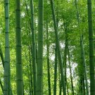 300pcs fresh Giant Moso Bamboo Plants For Diy Home Garden Tree seeds