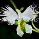 100pcs Japanese Radiata Bonsai White Egret Orchid Plants World's Rare Orchid Flowers Seeds