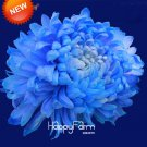 100 Pcs Balcony Potted Flower Rare Blue Chrysanthemum Flower Bonsai Home Garden Flower Seeds