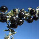 20 Pcs Rare Fresh Feral Organic Black Goji Berry Herbs Seeds