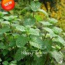 200 Pcs Aromatic Plant Bonsai Perfume Mint Balcony Potted Herb Mint Plants DIY Home Garden Seeds