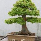 30 Pcs American Maple Plants Bonsai Very Nice Green Maple Garden Miniature Bonsai Tree Seeds