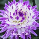 100 Pcs Hardy Heat-resisting Different Perennial Dahlia Flower Plants Seeds