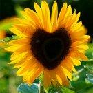 40Pcs MIX Colors Available Sunflower Bonsai Organic Helianthus Annuus Plants Seeds